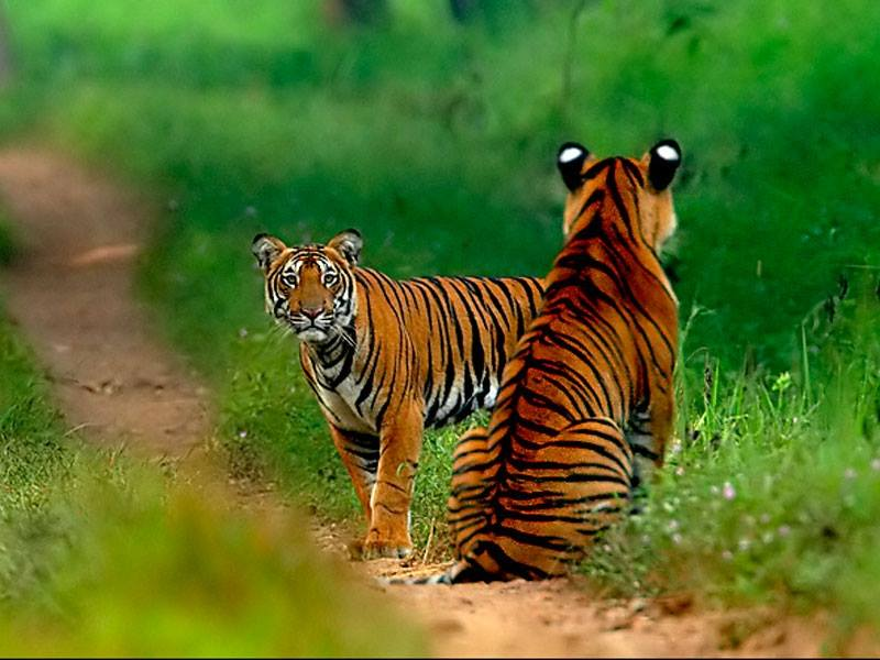 Tigers at Shivaram Wildlife Sanctuary