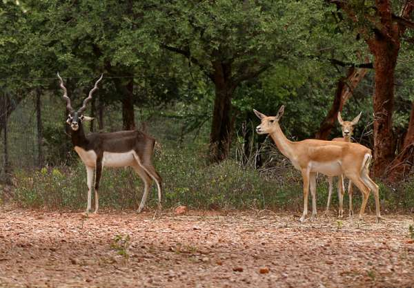 Blackbuck and Deer in Mahavir Harina Vanasthali National Park Hyderabad Telangana State