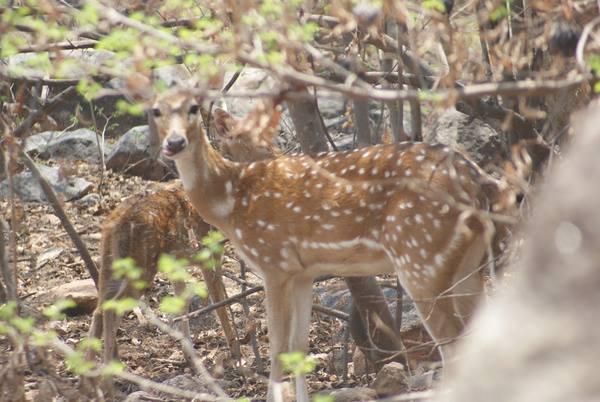 Deer in Mrugavani National Park